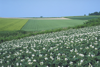 ジャガイモ畑 23018053768| 写真素材・ストックフォト・画像・イラスト素材|アマナイメージズ