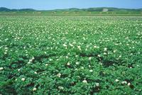 ジャガイモ畑 23018053770| 写真素材・ストックフォト・画像・イラスト素材|アマナイメージズ
