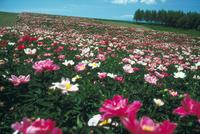 シャクヤク畑 23018053772| 写真素材・ストックフォト・画像・イラスト素材|アマナイメージズ