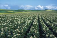 ジャガイモ畑 23018053773| 写真素材・ストックフォト・画像・イラスト素材|アマナイメージズ