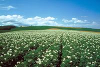 ジャガイモ畑 北海道 23018053775| 写真素材・ストックフォト・画像・イラスト素材|アマナイメージズ