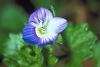 オオイヌノフグリの花の運動〈7〉