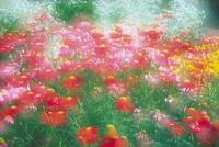 アカバナムシヨケギクの花壇