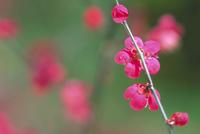ウメの花(紅梅)
