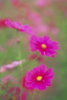 コスモスの花 23018053895| 写真素材・ストックフォト・画像・イラスト素材|アマナイメージズ