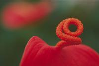 アンスリウム,シェルツェリアナムの花