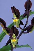 カタセタム,テネブロッサムの花
