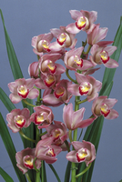 シンビジウムの花