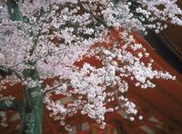 サクラ 宮島(広島) 23018054146| 写真素材・ストックフォト・画像・イラスト素材|アマナイメージズ