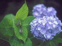 アジサイとカタツムリ 23018054147| 写真素材・ストックフォト・画像・イラスト素材|アマナイメージズ