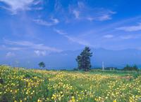 オオマツヨイグサ 山梨 23018054166| 写真素材・ストックフォト・画像・イラスト素材|アマナイメージズ