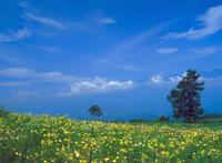 オオマツヨイグサ 23018054177| 写真素材・ストックフォト・画像・イラスト素材|アマナイメージズ