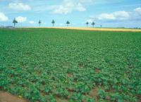 ジャガイモ畑 23018054183| 写真素材・ストックフォト・画像・イラスト素材|アマナイメージズ