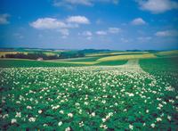 ジャガイモの花 23018054188| 写真素材・ストックフォト・画像・イラスト素材|アマナイメージズ