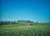 ジャガイモ畑 23018054189| 写真素材・ストックフォト・画像・イラスト素材|アマナイメージズ