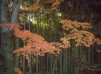 カエデ竹林 京都 23018054197| 写真素材・ストックフォト・画像・イラスト素材|アマナイメージズ