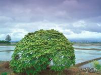 カエデの樹