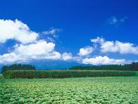キャベツ畑 長野 23018054227| 写真素材・ストックフォト・画像・イラスト素材|アマナイメージズ