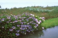 雨の手賀沼とアジサイ 千葉
