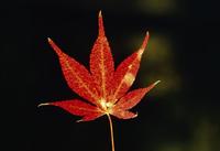 紅葉(イロハモミジ) 23018054353| 写真素材・ストックフォト・画像・イラスト素材|アマナイメージズ