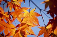 紅葉(オオモミジ) 23018054354| 写真素材・ストックフォト・画像・イラスト素材|アマナイメージズ