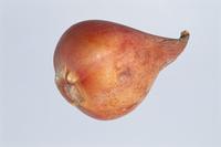 球根(チューリップ) 23018054355| 写真素材・ストックフォト・画像・イラスト素材|アマナイメージズ