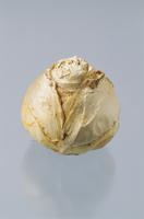 球根(ヒヤシンス) 23018054357| 写真素材・ストックフォト・画像・イラスト素材|アマナイメージズ
