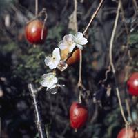 季節はずれの開花(サクラ) 23018054373| 写真素材・ストックフォト・画像・イラスト素材|アマナイメージズ