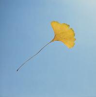 紅葉(イチョウの黄葉) 23018054425| 写真素材・ストックフォト・画像・イラスト素材|アマナイメージズ