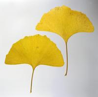 紅葉(イチョウの黄葉) 23018054426| 写真素材・ストックフォト・画像・イラスト素材|アマナイメージズ