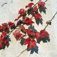紅葉(ツタ) 23018054427| 写真素材・ストックフォト・画像・イラスト素材|アマナイメージズ
