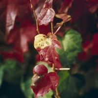 紅葉(ツタ) 23018054428| 写真素材・ストックフォト・画像・イラスト素材|アマナイメージズ