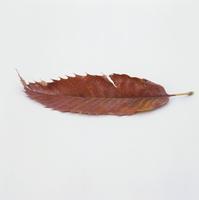 紅葉(クリの褐葉) 23018054430| 写真素材・ストックフォト・画像・イラスト素材|アマナイメージズ