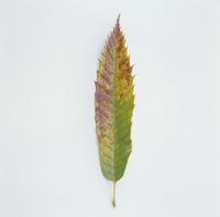 紅葉(クリの褐葉) 23018054431| 写真素材・ストックフォト・画像・イラスト素材|アマナイメージズ