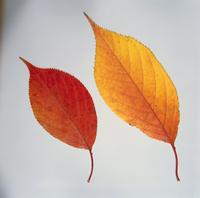 紅葉(ソメイヨシノ) 23018054436| 写真素材・ストックフォト・画像・イラスト素材|アマナイメージズ