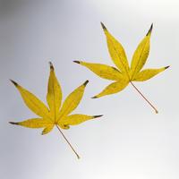 紅葉(カエデの黄葉) 23018054443| 写真素材・ストックフォト・画像・イラスト素材|アマナイメージズ