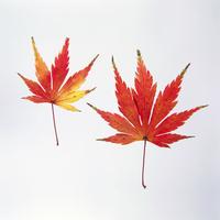 紅葉(カエデ) 23018054444| 写真素材・ストックフォト・画像・イラスト素材|アマナイメージズ