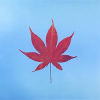 紅葉(イロハモミジ) 23018054445| 写真素材・ストックフォト・画像・イラスト素材|アマナイメージズ