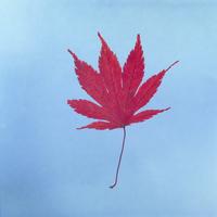 紅葉(カエデ) 23018054446| 写真素材・ストックフォト・画像・イラスト素材|アマナイメージズ