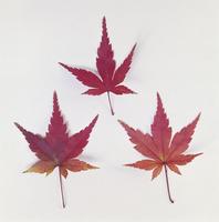 紅葉(カエデ) 23018054447| 写真素材・ストックフォト・画像・イラスト素材|アマナイメージズ