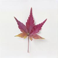紅葉(カエデ) 23018054448| 写真素材・ストックフォト・画像・イラスト素材|アマナイメージズ
