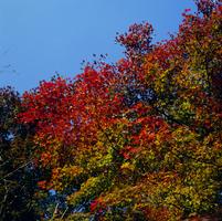 紅葉 23018054451| 写真素材・ストックフォト・画像・イラスト素材|アマナイメージズ