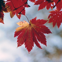紅葉(ハウチワカエデ) 23018054452| 写真素材・ストックフォト・画像・イラスト素材|アマナイメージズ
