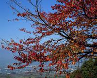 紅葉(サクラ) 23018054477| 写真素材・ストックフォト・画像・イラスト素材|アマナイメージズ