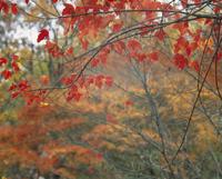 紅葉(タタリアンカエデ) 23018054482| 写真素材・ストックフォト・画像・イラスト素材|アマナイメージズ