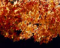 紅葉 23018054492| 写真素材・ストックフォト・画像・イラスト素材|アマナイメージズ