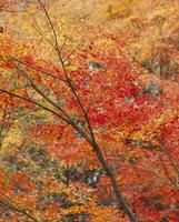 紅葉 23018054501| 写真素材・ストックフォト・画像・イラスト素材|アマナイメージズ
