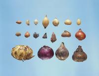 球根(秋植え球根) 23018054536| 写真素材・ストックフォト・画像・イラスト素材|アマナイメージズ