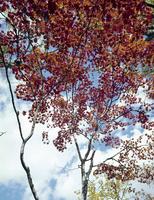 紅葉(コハウチワカエデ) 23018054537| 写真素材・ストックフォト・画像・イラスト素材|アマナイメージズ