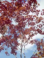 紅葉(コハウチワカエデ) 23018054538| 写真素材・ストックフォト・画像・イラスト素材|アマナイメージズ